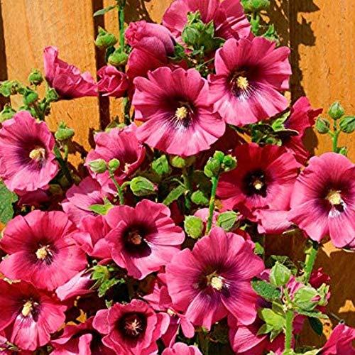 SummerRio Garten-50 Pcs Selten Regenbogen Stockrose Halo Blossom Blumensamen Pflanze winterhart Samen Mehrjährige Blume für Vorgarten/Steingarten