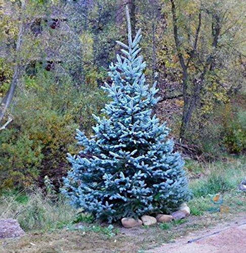 50seeds / bag I veri Colorado Blue Spruce Albero semi-Picea pungens -Bonsai piante in vaso blu albero semi ornamentali albero di Natale