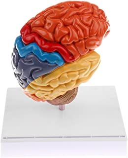 BAOBLADE Section of Lifesize 1:1 Functional Area Colored Human Brain Model Lab Supplies Learning Resources