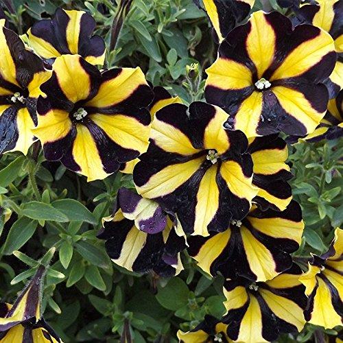 100 piezas semillas de petunia Negro escalada semillas de flores de melisa originales flores perennes para el jardín de la petunia bonsai crisol de establecimiento 15