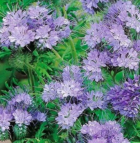 Acecoree Samen- Phacelia Samen Bienenfreund,exotische samen Blumensamen Saatgut winterhart mehrjährig