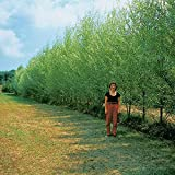 60 Austree Hybrid Willow Tree Cuttings- Fastest Growing Tree - Great for Privacy and Shade Fast - 60 Cuttings to Grow 60 Trees