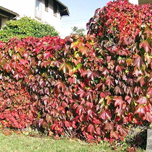 Boston Ivy Vine Virginia Creeper Parthenocissus tricuspidata Escalade 100 graines