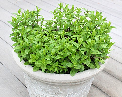 100+ Spearmint Herb Seeds Heirloom Non-GMO Mentha Spicata Fragrant! from USA