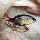 (淡水魚)アブラボテ(3匹)【生体】
