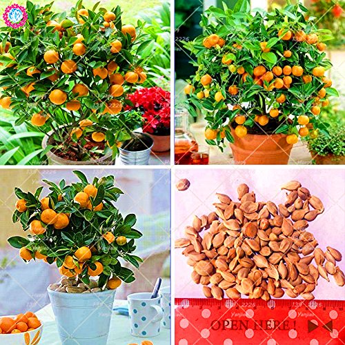 Semillas de 40PCS Naranja Mini macetas frutos comestibles Semillas Bonsai de China de calidad superior Orange Tree plantas perennes para jardín