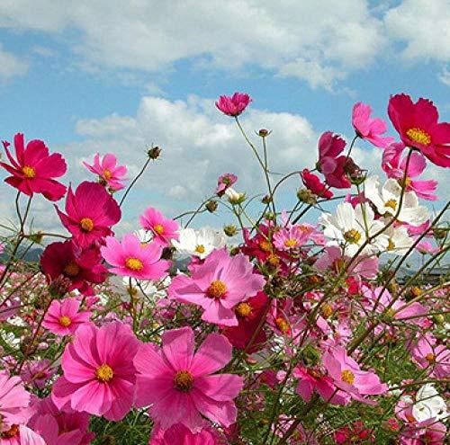 B/H Wildblumenwiese,Zinnia Cosmos Schwefelblume Ringelblumenkern 500g-A Catty_Calendula,Blumensamen winterhart mehrjährig