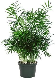 Best chamaedorea indoor plant Reviews