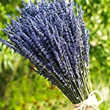 TooGet Lavender Dried Ultra Blue Bundles(16' - 18' Long) for Home Decor, Crafts, Gift,Wedding or Any Occasion