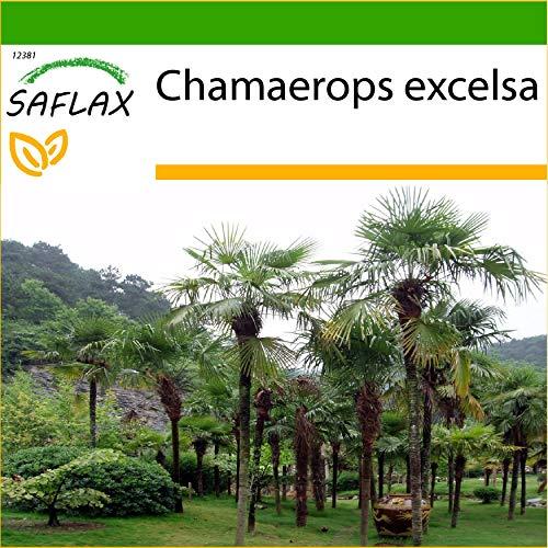 SAFLAX - Palmier à chanvre - 10 graines - Avec substrat - Chamaerops excelsa