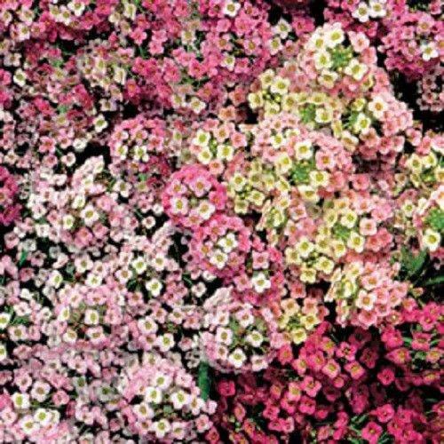500 Alyssum doux Pastel Tapis Mix Lobularia Maritima Flower SeedsComb S/H