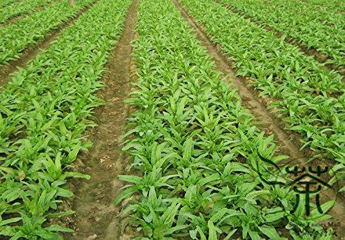 50 pcs / sac vert Radis Les graines sont très savoureux Nutrition Santé Gourmet Semences Potagères Meilleur Graines Radis Qualité