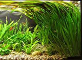 Biotope <span class='highlight'>Aquatic</span>s Ltd - Bunch Straight VALLIS - Aquarium Live Plant - <span class='highlight'>Fish</span> Tank Vallisneria spiralis
