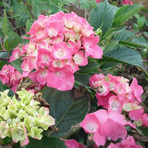 Hydrangea macrophylla 'Bouquet Rose' - (Bauernhortensie 'Bouquet Rose')- Containerware 30-40 cm