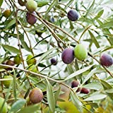 2 Olive Tree Live Plant- Pack 2 Olive Tree for Growing, Planting Indoor, Outdoor- Olea Europaea - No Seed- 4-6 Inch Tall