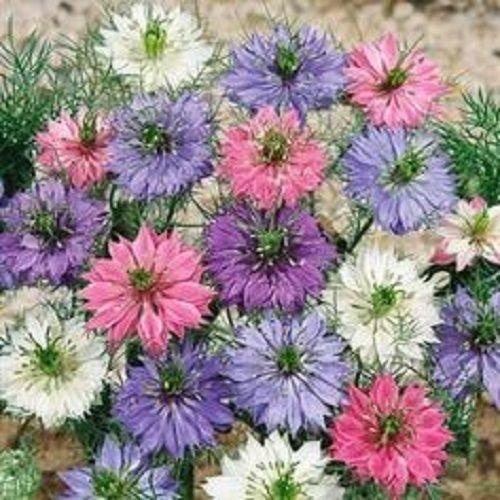 50+ NIGELLA DOUBLE BLUMEN LIEBE IM NEBEL Blumensamen MIX/Nachsaat ANNUAL