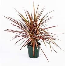 AMERICAN PLANT EXCHANGE Dracena Marginata Colorama Madagascar Dragon Tree Live Plant, 6