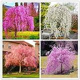 10pcs / sac japonais graines d'arbres sakura bonsaïs, arbres de cerisier pleureur, bricolage jardin graines nain sakura belles graines de fleurs 1