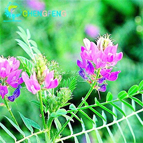20pcs Herbal Astragalus Graines Japon Ginseng Graines Plantes Bonsai Petit Arbre Fleur Haut Nutrient Herb Roots New For Home & Garden