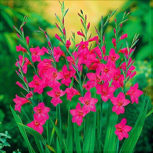 Winterharte Wild Gladiolen byzantinus (50 Blumenzwiebeln)