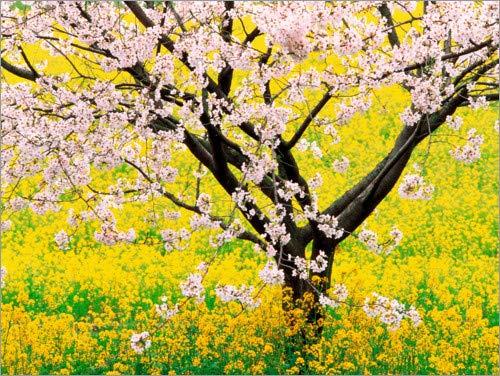 Posterlounge Leinwandbild 130 x 100 cm: Blühender Kirschbaum in senfgelbem Feld von Panoramic Images - fertiges Wandbild, Bild auf Keilrahmen, Fertigbild auf echter Leinwand, Leinwanddruck