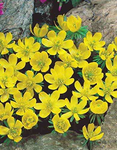 10 ERANTHIS HYEMALIS / WINTER ACONITE BULBS (YELLOW) FOR BORDER PATIO ROCKERY GARDEN PERENNIAL