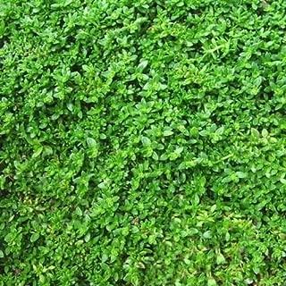 800+ Rupturewort Green Carpet Ground Cover Seeds (Herniaria Glabra) - Flower Garden Spring Summer Rare Grass Seeds (200-800 Seeds)
