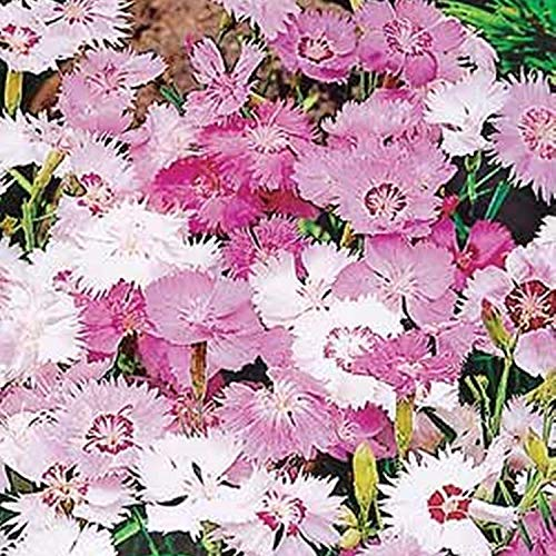 Border Pinks (Dianthus Plumarius Mix) 100 Seeds