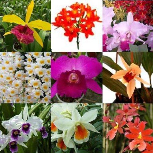 4 blühende Orchideen im Topf, Überraschungspflanzen, 1 Rispe pro Pflanze