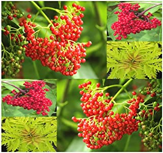50 Red Elderberry, European Red Elderberry - Sambucus racemosa, Seeds - Fragrant Flowers - Urban Tolerant - Zone 3-8