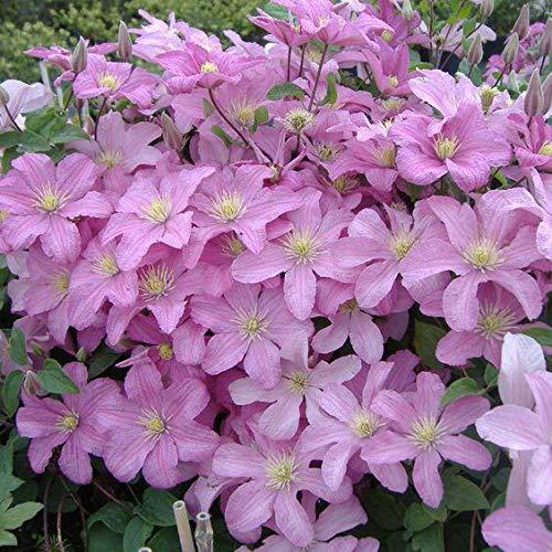 Green Seeds Co. 100 Clematis Pflanzen für Zuhause & amp; Garden Pink Rebe Blumen Pflanze Bonsai Kletterpflanzen Twining Plant Sca Seltene Blume Plan: Weiß