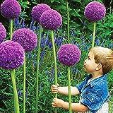 Semillas de flores, 1 bolsa Semilla de cebolleta morada Gran demanda de agua Semilla de flores estéticas portátiles resistentes a los insectos para Bouqet para regalo de flores de jardinería ideal