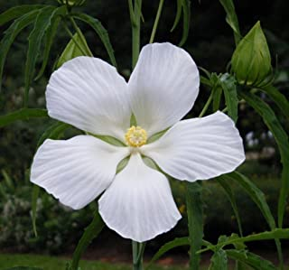 White Texas Star Hibiscus Rose Mallow Heirloom Perennial Flower Garden 10 Seeds