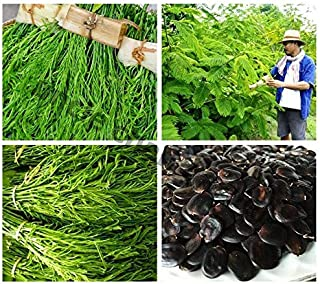 ANVIN Seeds Package: Seeds : Uncle CHAN Seed Cha-om, Senegalese pennata Real My GA C