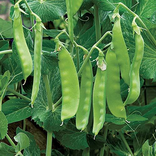 13. Oregon Giant Peas