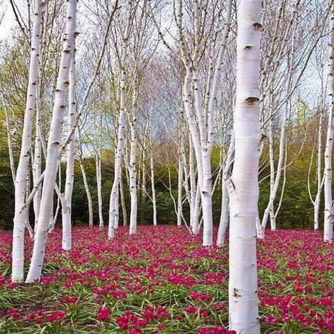 50 Seeds - White Paper Birke Seeds (Betula papyrifera)