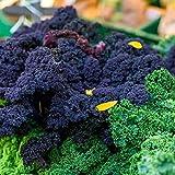 Semi di Kale 'Scarlet' - Brassica oleracea