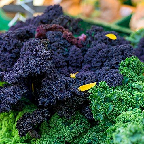 Semillas de Kale \'Scarlet\' - Brassica oleracea