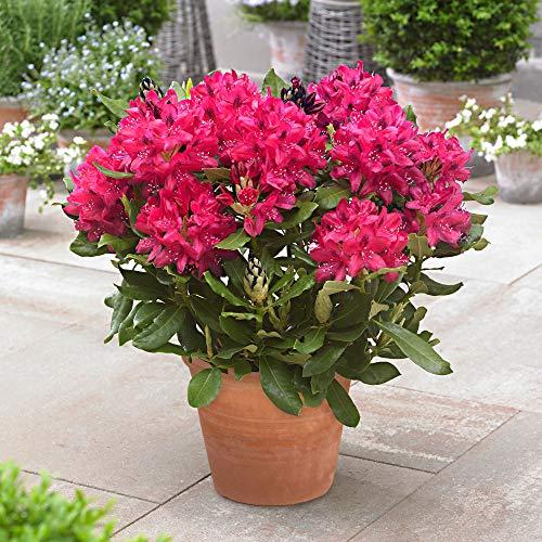"Rhododendron ""Nova Zembla"" | Rosa Blüte | Winterhart | Höhe 25-30cm | Topf-Ø 19cm"