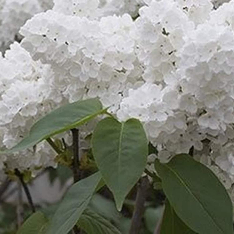 Semillas japon/és lila /árbol 50pcs Semillas Bolsa lila sol /árbol Prefiero la demanda de agua Semillas de la flor blanca japonesa lila del /árbol por un Bonsai