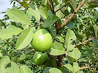 9EzTropical - Tropical Guava White Flesh - 2 to 3 Feet Tall - Ship in 1 Gal Pot