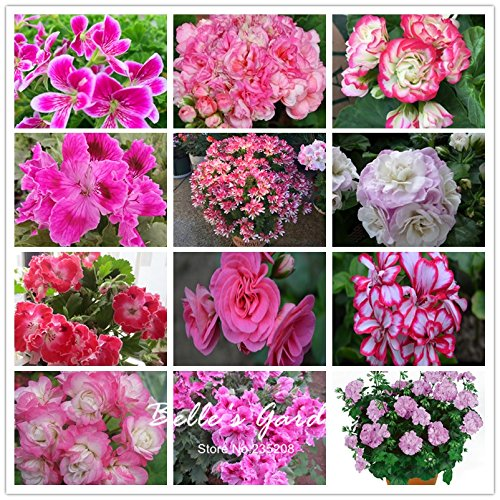 5pcs Couleurs multiples Variétés Géranium Graines Bonsai Pelargonium vivaces Graines de fleurs Hardy Patio Plante Plante en pot bricolage Mix