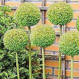 Kemanner Garten - 30 Stü Blumenzwiebeln Samen Samen Blumen Saatgut Mehrjährig Blumensamen für Garten Balkon Blume Pflanzensamen Winterhart