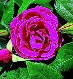 GreenBrokers ZEPHIRINE DROUHIN CLIMBING ROSE 3.5 LITRE, Carmine Pink-THORNLESS