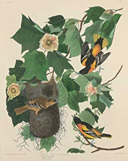 Fine Art Print - Robert Havell after John James Audubon - Baltimore Oriole 1827 - Vintage Wall Decor Poster Reproduction - 36in x 44in