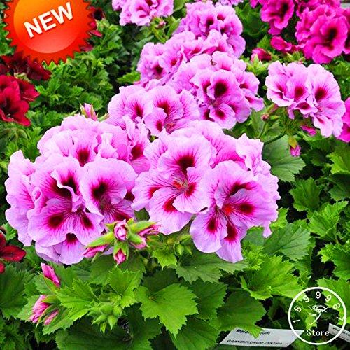 Nouvelle arrivée! 20 Pcs / Paquet Rare Queling Violet univalve Géranium Graines vivace Fleur Pelargonium Peltatum Seeds, # DNLQDJ
