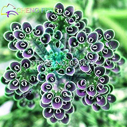 2016 neue Verkaufs-50pcs Kalanchoe Bonsai Blumensamen Seltene Hausgarten Luftreinigung Innentopf Novel Sukkulente Pflanzen geben Schiff frei