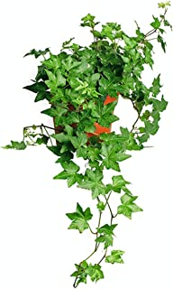 AMERICAN PLANT EXCHANGE English Ivy Needlepoint Trailing Vine Live Plant, 6