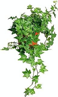 tricolour prayer plant
