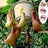 Ponnen 20 Stück Nepenthes Seeds Blumenpflanzensamen Home Garden Yard Seed Nepenthes Samen